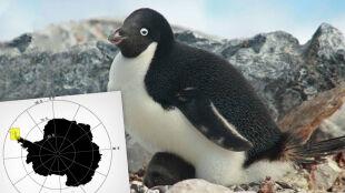 Półtora miliona pingwinów. Superkolonia odkryta dzięki zdjęciom odchodów