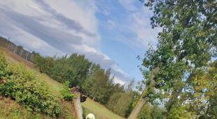 """Powalone drzewo na krajowej """"20"""" (OSP BIAŁY BÓR)"""