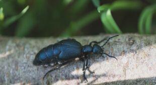 Oleica krówka to chrząszcz, który wydziela śmiertelną wydzielinę (fot.: Shutterstock, wideo bez dźwięku)